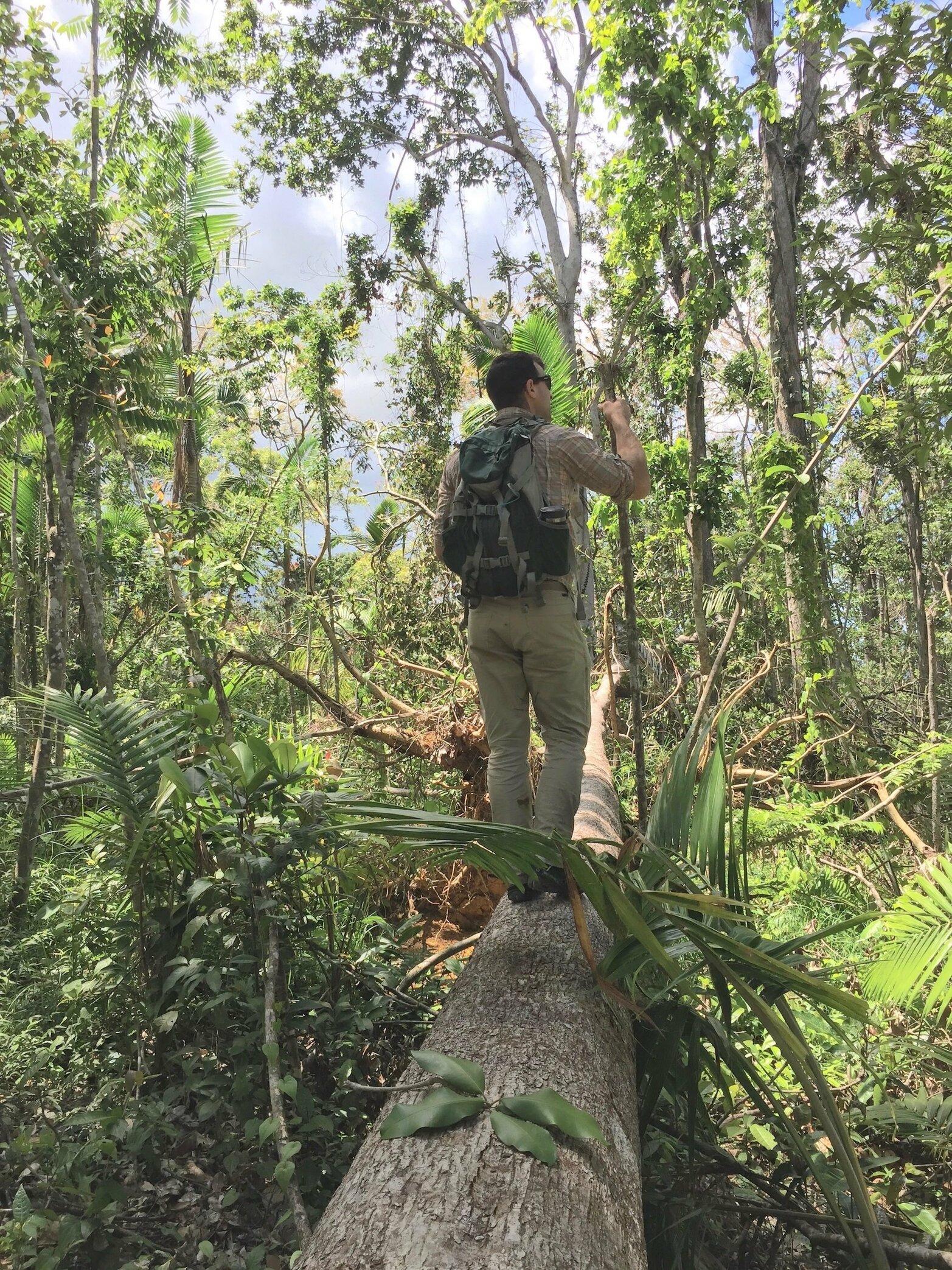 PR Forest Ausubo Log